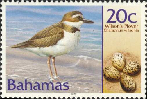 Charadrius wilsonia
