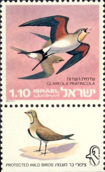 Glareola pratincola