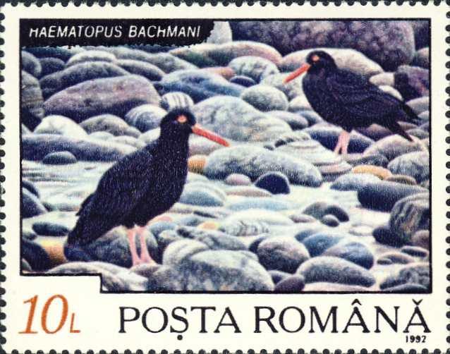Haematopus bachmani