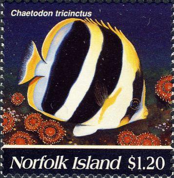 Chaetodon tricinctus