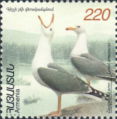 Larus armenicus