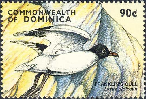 Larus pipixcan