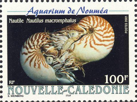 Nautilus macromphalus