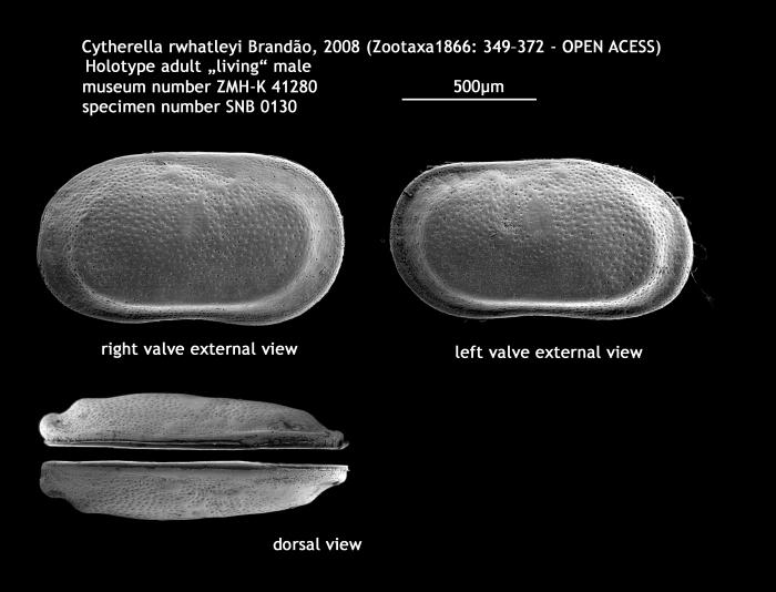 Cytherella rwhatleyi Brandao, 2008 - holotype male
