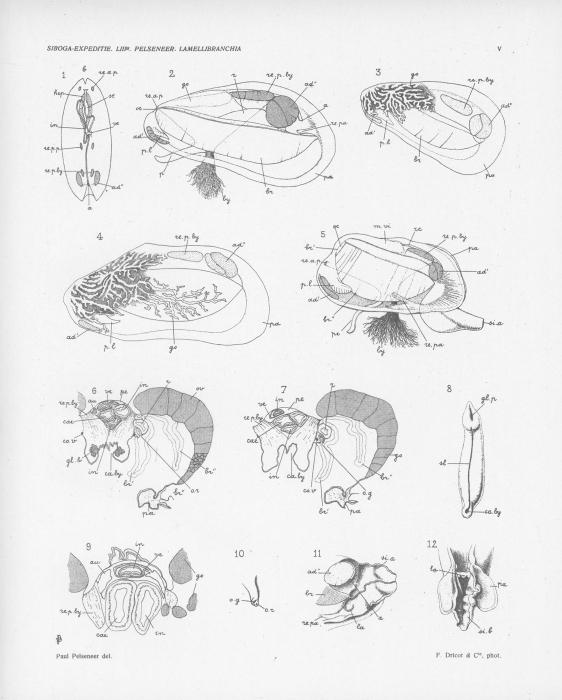 Pelseneer (1911, pl. 05)