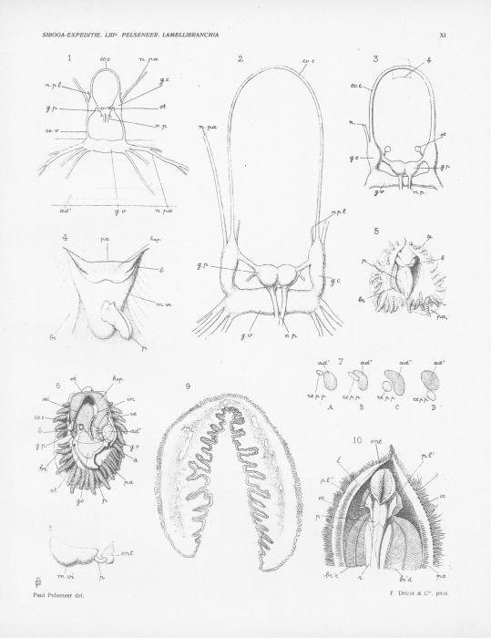 Pelseneer (1911, pl. 11)