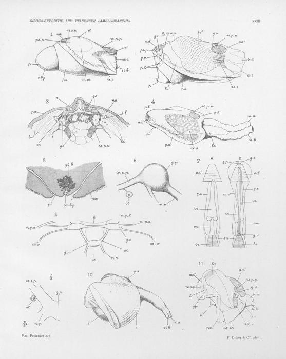 Pelseneer (1911, pl. 23)