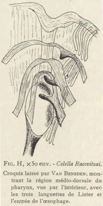 Van Beneden; de Selys Longchamps (1913, fig. H)