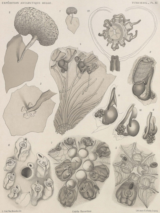 Van Beneden; de Selys Longchamps (1913, pl. 11)