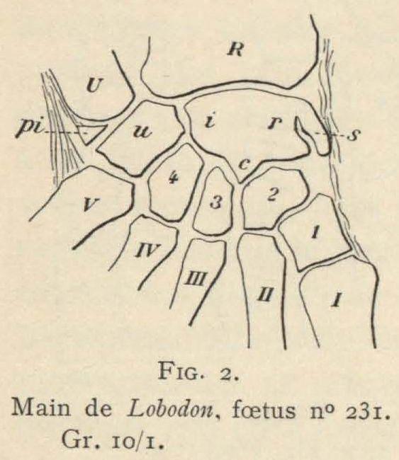 Leboucq (1904, fig. 2)
