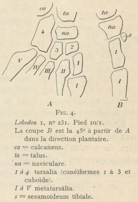 Leboucq (1904, fig. 4)
