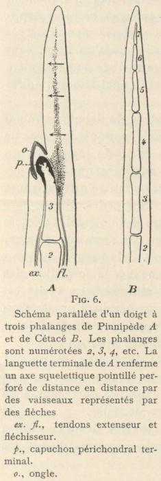Leboucq (1904, fig. 6)