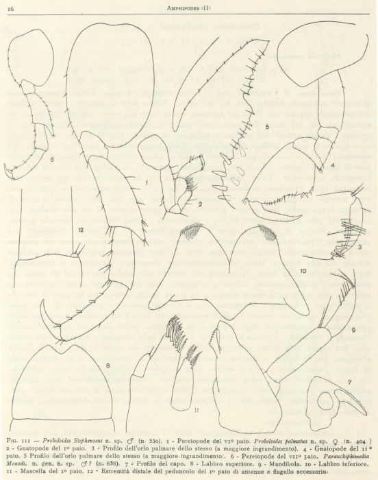 Ruffo (1949, fig. 03)