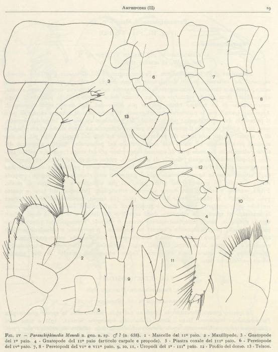 Ruffo (1949, fig. 04)