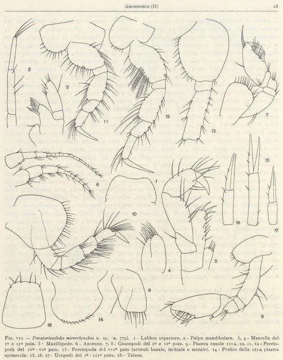 Ruffo (1949, fig. 07)