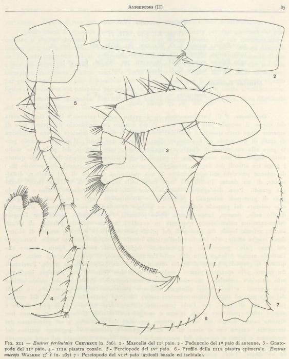 Ruffo (1949, fig. 12)