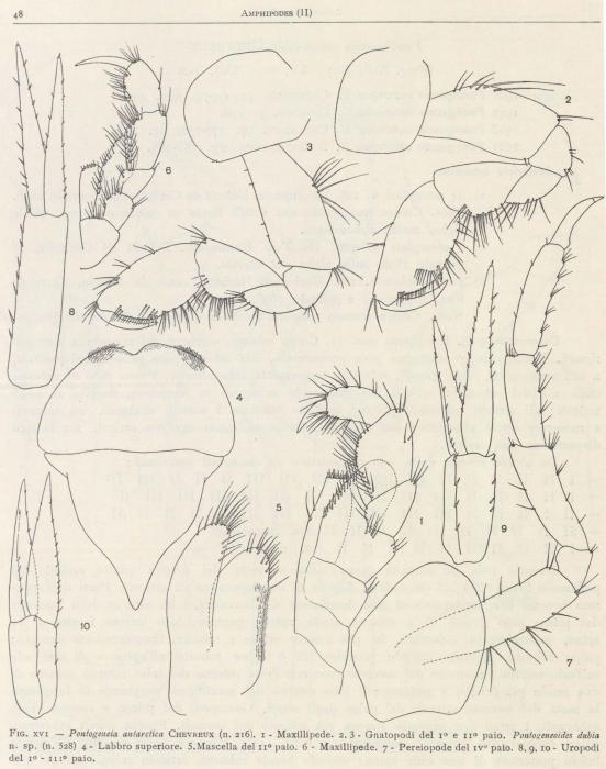 Ruffo (1949, fig. 16)
