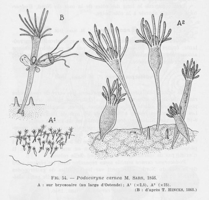 Leloup (1952, fig. 54)