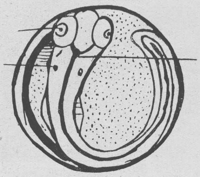 Verbrugghe (1923, fig. 11)