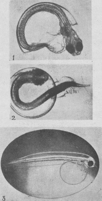 Verbrugghe (1923, fig. 12)