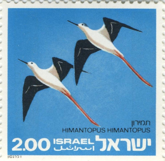 Himantopus himantopus