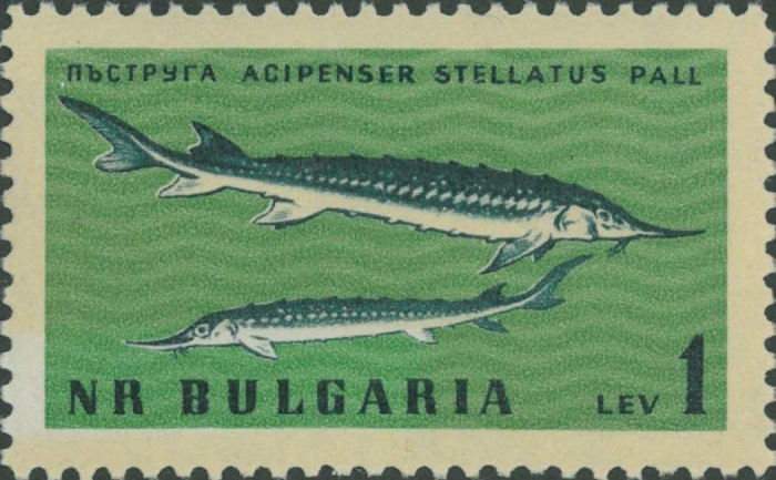 Acipenser stellatus