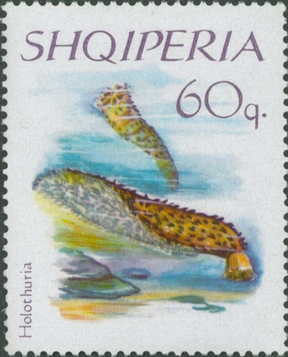 Holothuria sp.