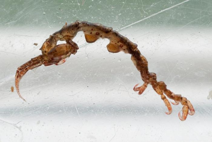 Caprellidae World Amphipoda Database Photogallery