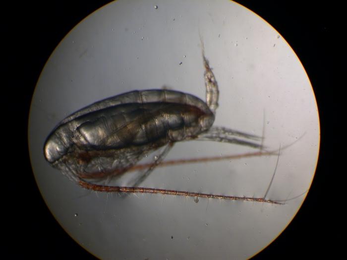 Calanus finmarchicus