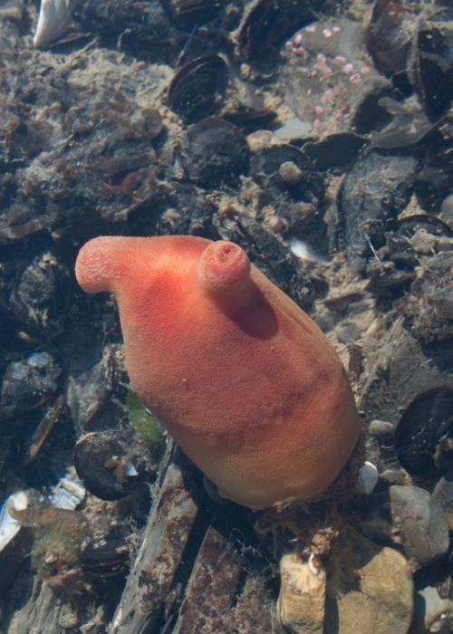 Halocynthia pyriformis