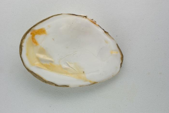 Macoma calcarea