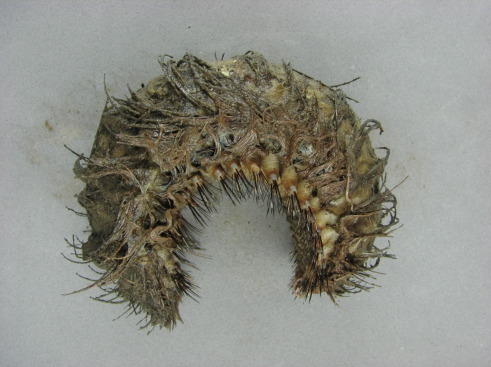 Aphroditella hastata - sea mouse (polychaete)
