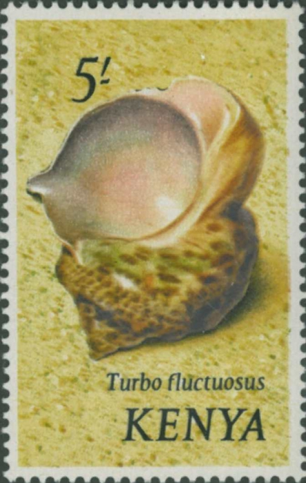 Turbo fluctuosus