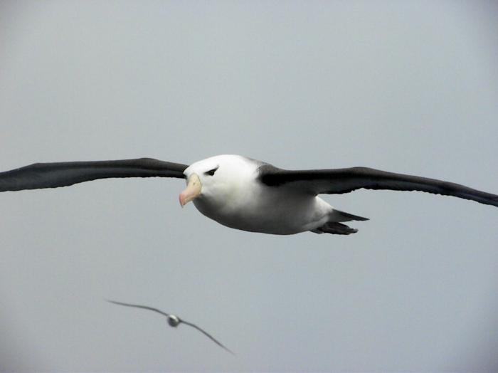 Black browed Albatross on South Atlantic Ocean