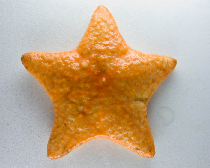 Poraniomorpha hispida - sea star