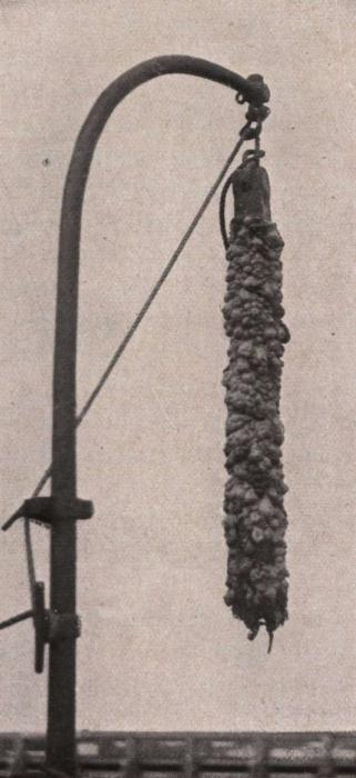 Gilson (1914, fig. 012)