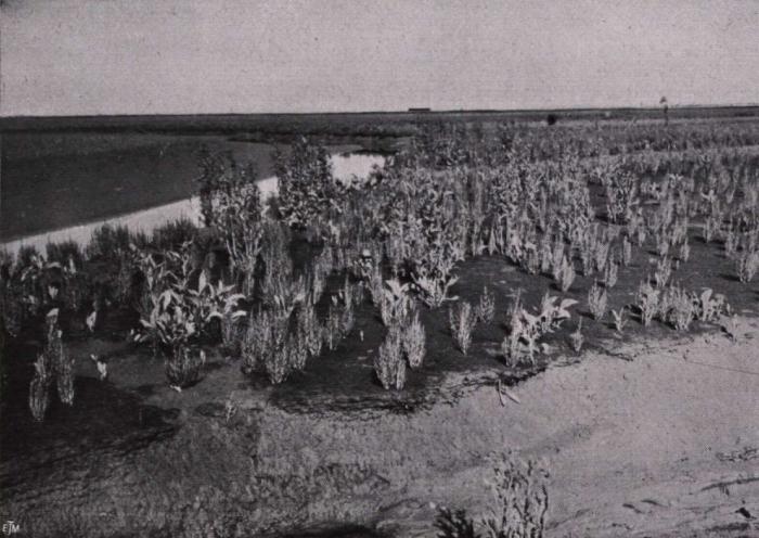 Gilson (1914, fig. 050)