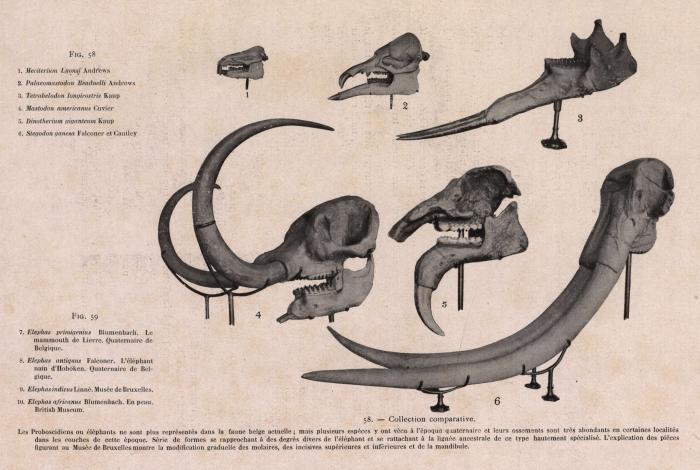 Gilson (1914, fig. 058)