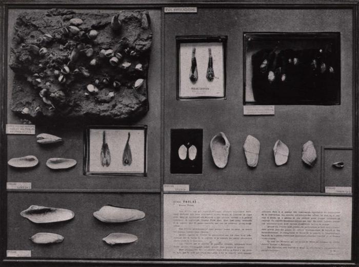 Gilson (1914, fig. 063)