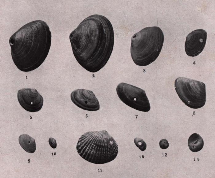 Gilson (1914, fig. 068)