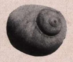Gilson (1914, fig. 070)