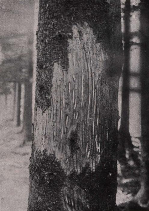 Gilson (1914, fig. 072)