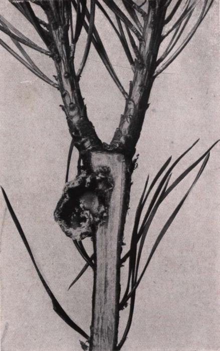 Gilson (1914, fig. 073)
