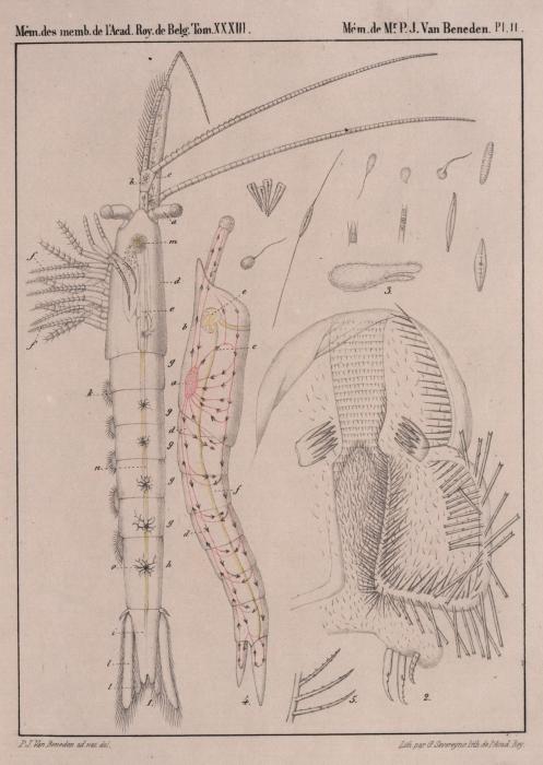 Van Beneden (1861, pl. 02)