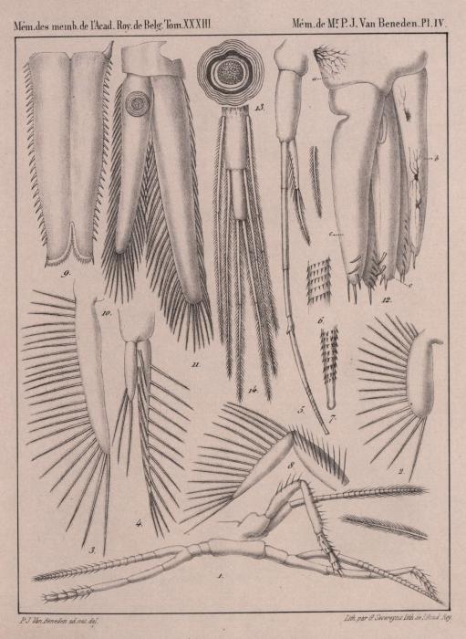 Van Beneden (1861, pl. 04)
