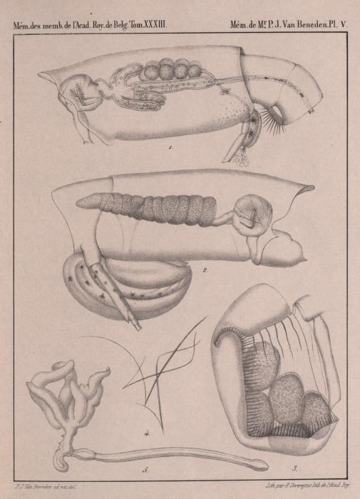 Van Beneden (1861, pl. 05)