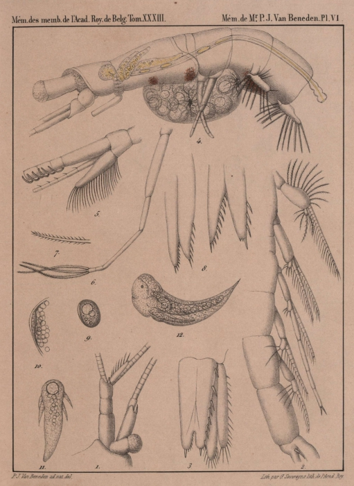 Van Beneden (1861, pl. 06)