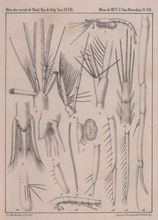 Van Beneden (1861, pl. 07)