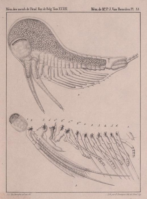 Van Beneden (1861, pl. 11)
