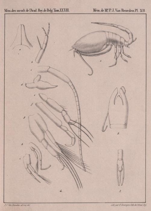 Van Beneden (1861, pl. 12)